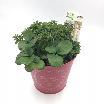 🍓いちごと🌿Ribbon Herbのオレガノ【ブリキ鉢寄せ植え】