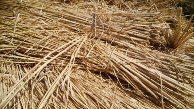 自然栽培稲わら2kg(意外と人気の)