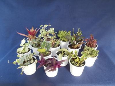 (送料込み)ミニ多肉植物3個+ミニ観葉植物3個 店長厳選おすすめ 9cm鉢 6個セット