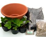 実生苗  ワイルドストロベリー(赤実)3個植木鉢(23cm素焼き鉢)植替えセット