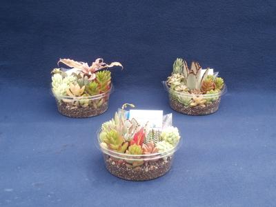 (送料込み)【巣籠もり】サキュレント Self made 自作多肉植物寄せ植えキット(土タイプ)3個セット