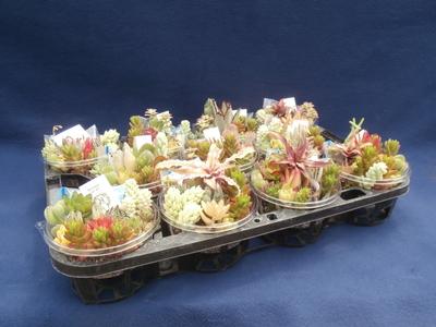 (送料込み)【巣籠もり】サキュレント Self made 自作多肉植物寄せ植えキット(土タイプ)11個セット