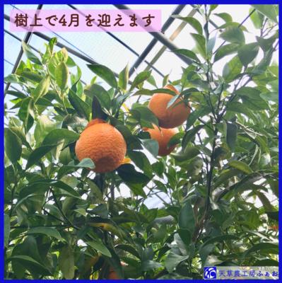 【限定】4月収穫/発送 熊本天草の春採不知火「あびりる」