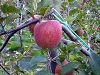 須田農園 ふじりんご