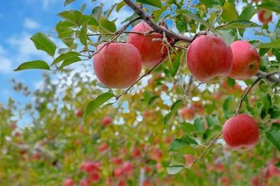 りんご食べ放題&収穫体験