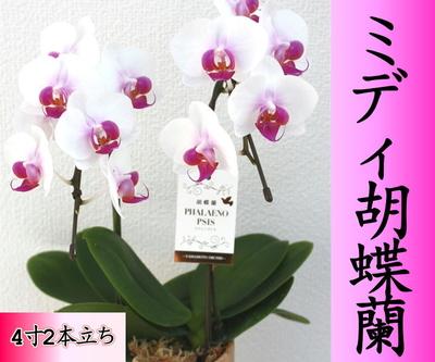 ミディ胡蝶蘭(4寸2本立ち 白陶器鉢)