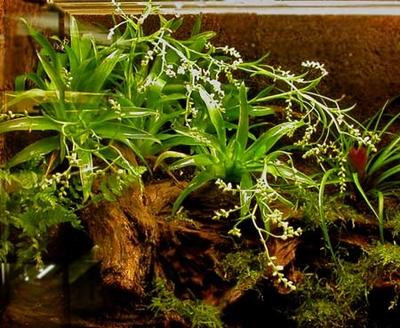 カトプシス・モーレニアナ(パイナップル科チランジア亜科)