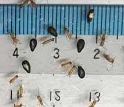 ヨーロッパイエコオロギ1-2令 10匹単位