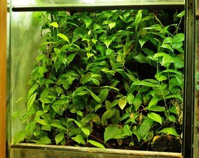 ビバリウムをジャングルにするフィカス(30cmの挿し穂