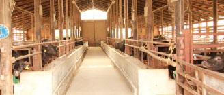 田子牛が飼育されている清潔な牛舎