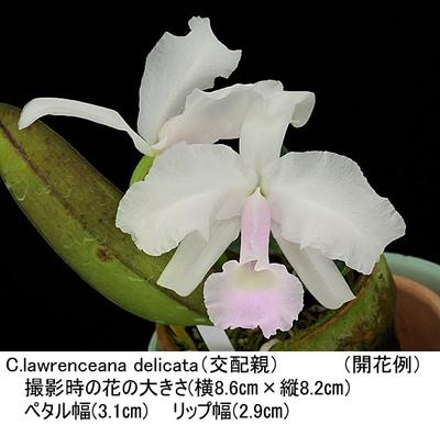 C.lawrenceana delicata(×sib)(ローレンセアナ デリカータ)