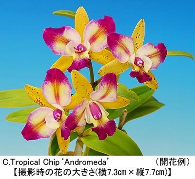 C.Tropical Chip'Andromeda'(カトレア トロピカル チップ'アンドロメダ')開花サイズ