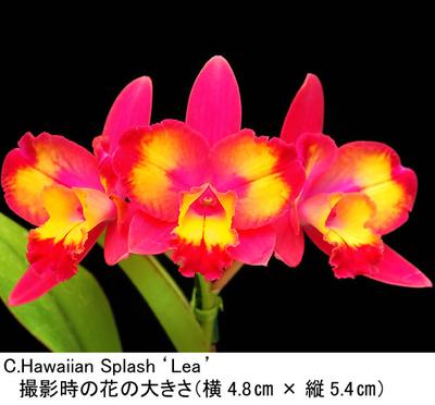 C.Hawaiian Splash'Lea'(カトレア ハワイアン スプラッシュ'レア')開花サイズ