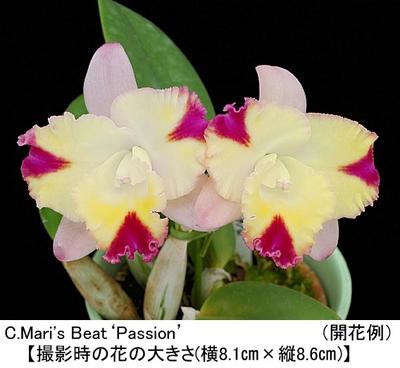 C.Mari's Beat'Passion'(カトレア マリズ ビート'パッション')開花サイズ