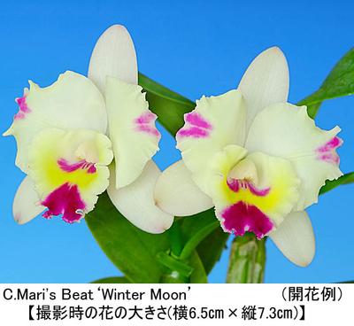 C.Mari's Beat'Winter Moon'(カトレア マリズ ビート'ウインター ムーン')開花サイズ