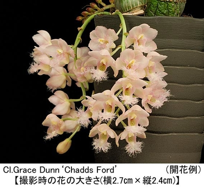 Cl.Grace Dunn'Chadds Ford'(クロウェシア グレース ダン'チャッズ フォード')