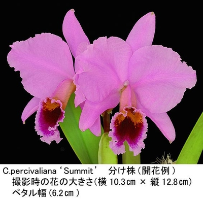 C.percivaliana'Summit'FCC/AOS(パーシバリアナ'サミット')分け株