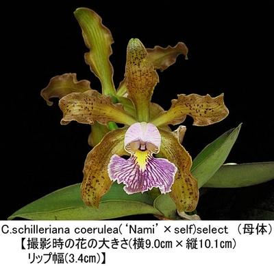 C.schilleriana coerulea(×sib)(シレリアナ セルレア)