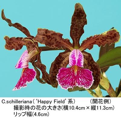C.schilleriana('Happy Field'BM/JOGA系)(シレリアナ)