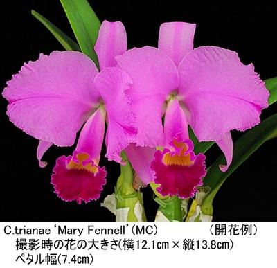 C.trianae'Mary Fennell'(トリアネ'マリー フェネル')MC