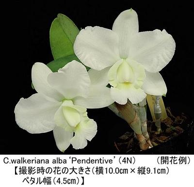 C.walkeriana alba'Pendentive'(4N)【ワルケリアナ アルバ'ペンデンティブ'(4倍体)】