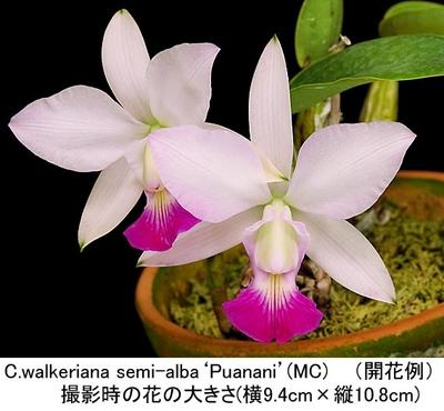 C.walkeriana semi-alba'Puanani'(ワルケリアナ セミアルバ'プアナニ')