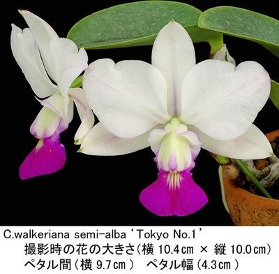 C.walkeriana semi-alba'Tokyo No.1'(ワルケリアナ'トーキョー No.1')