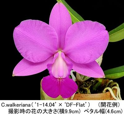 C.walkeriana tipo('1-14.04'בDF-Flat')(ワルケリアナ)