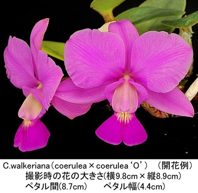 C.walkeriana(coerulea selected×coerulea'O')( ワルケリアナ)