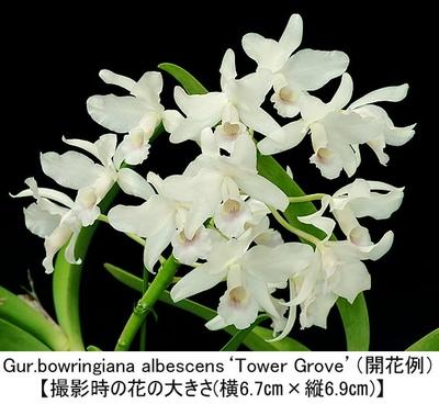 Gur.bowringiana albescens'Tower Grove'(MC)(ボウリンギアナ アルベッセンス'タワー グローブ')