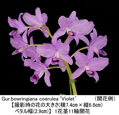 Gur.bowringiana coerulea'Violet'(ボウリンギアナ セルレア'バイオレット')(分け株)