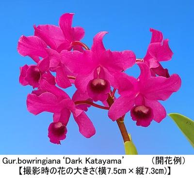 Gur.bowringiana'Dark Katayama'(ボウリンギアナ'ダーク カタヤマ')
