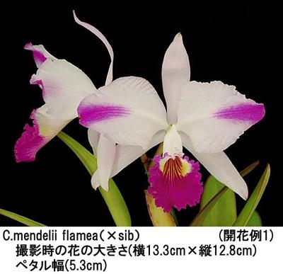 C.mendelii flamea(×sib)(メンデリー フラメア)