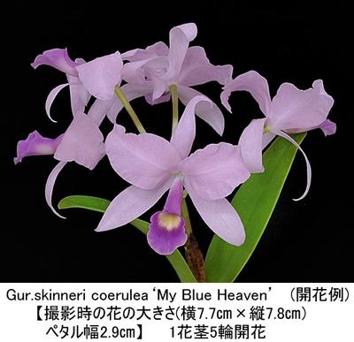 Gur.skinneri coerulea'My Blue Heaven'(スキンネリ セルレア'マイ ブルー ヘブン')