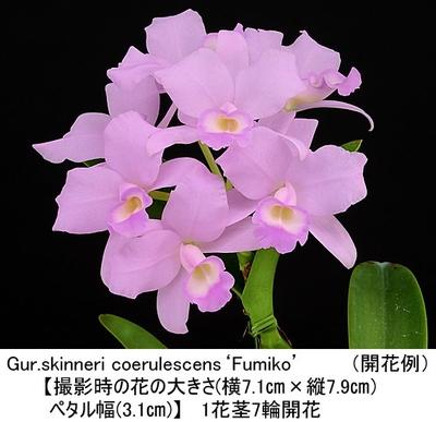 Gur.skinneri coerulescens'Fumiko'(スキンネリ セルレッセンス'フミコ')(4N、分け株)