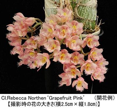 Cl.Rebecca Northen'Grapefruit Pink'(クロウェシア レベッカ ノーゼン'グレープフルーツ ピンク')
