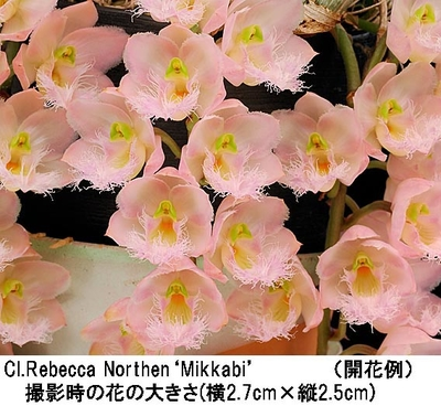 Cl.Rebecca Northen'Mikkabi'(クロウェシア レベッカ ノーゼン'ミッカビ')