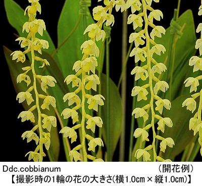 Ddc.cobbianum(デンドロキラム コビアナム)