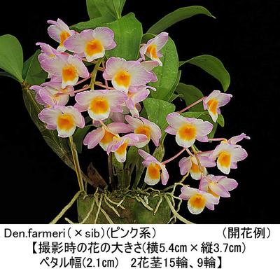 Den.farmeri(×sib)《ファーメリ(ピンク系)》