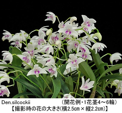 Den.silcockii(シルコッキー)