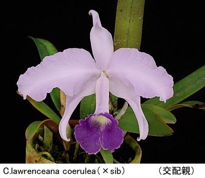 C.lawrenceana coerulea(×sib)(ローレンセアナ セルレア)