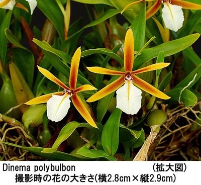 Dinema polybulbon(ディネマ ポリブルボン)