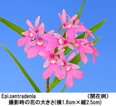 Epi.centradenia(エピデンドラム セントラデニア)
