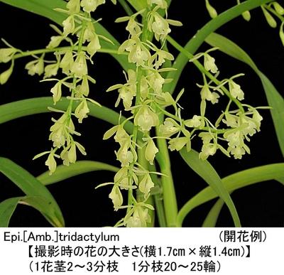 Epi.【Amb.】tridactylum(エピデンドラム トリダクティルム)