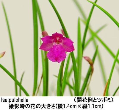 Isa.pulchella(イザベリア プルケラ)