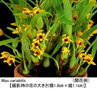Max.variabilis(マキシラリア バリアビリス)
