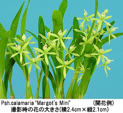 Psh.calamaria'Margot's Mini'(プロステケア カラマリア'マーゴッツ ミニ')