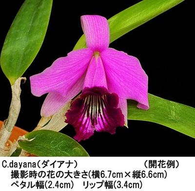 C.bicalhoi(ビカルホイ)【=dayana】