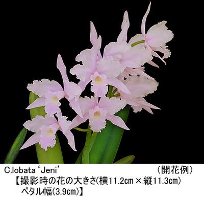 C.lobata'Jeni'(カトレア ロバータ'ジェニー')MC