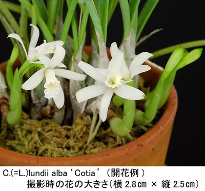 C.lundii alba'Cotia'CBM/JOGA(ルンディー アルバ'コティア')MC